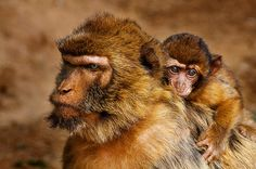 A baby monkey holding on to its mother's back. Especie Animal, Wild Ones, Primates, Animal Kingdom, Mother Nature, Hold On, Tights, Explore, Cute