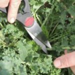 How To Harvest And Store Kale