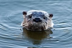 River Otter | Community Post: 15 Animals You Wish You Could Keep As A Pet