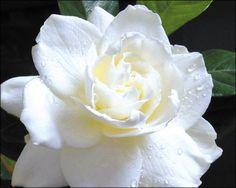 Gardena for Sale   Arizona's Best Shrubs - Moon Valley Nursery