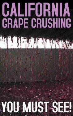 California Grape Crushing you must see!