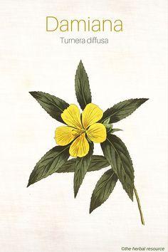 The Medicinal Herb Damiana (Turnera diffusa)
