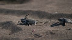 "Tortuguero National Park Turtles - Witness the ""arribada""."
