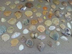 Muszelki z plaży w Bułgarii w Sozopolu w Duni Royal Resort