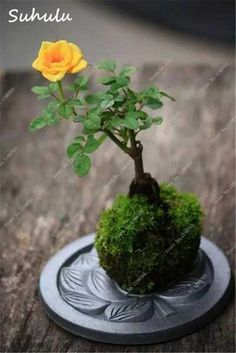 200 pcs mini rose bonsai miniature rose seeds, cute beautiful plants for home garden plant potted baby gift flower seeds