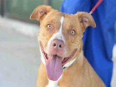 American Staffordshire Terrier dog for Adoption in Fort Lauderdale, FL. ADN-458957 on PuppyFinder.com Gender: Female. Age: Adult