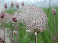 The silky, flowing styles of the fruiting stage of Prairie Smoke (Geum triflorum), never fail to win admirers at first sight.  When setting seed, large stands of the plant create a gauzy effect that resembles smoke hovering close to the ground.  Blooming in spring to early summer, Prairie Smoke will spread slowly from its roots in well-drained, dry to wet-mesic soils.  It prefers full to partial sun and has a native range from the northern tier of the US through most of Canada thus growing…