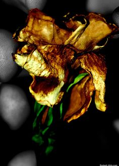 """Photo called """"Dead yet alive"""". This a macro shot of a dried gardenia flower"""