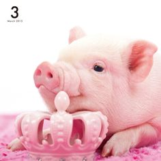 Little Queen Piggy Wiggy Cute Baby Pigs, Cute Piglets, Cute Baby Animals, This Little Piggy, Little Pigs, Pet Pigs, Guinea Pigs, Miniature Pigs, Tout Rose