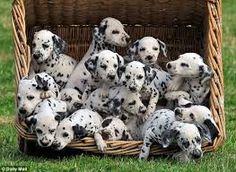 dalmatian puppies for sale - Google Search