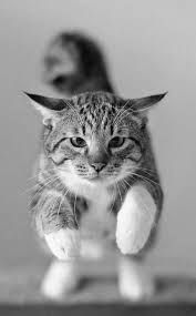 Jumping Cat, Black And White Pictures, Adorable Animals, Cat Lady, White Photography, Gatos, Cutest Pets, Cute Animals
