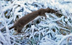 Stoat (Mustela erminea), also known as the short-tailed weasel, Photographer: Jan Larsson Wild Life, Animals, Animais, Animales, Animaux, Wildlife Nature, Animal, Dieren
