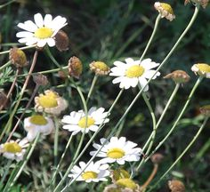 The flower that Pyrethrum is made from. Also provides protection from insects for nearby plants.