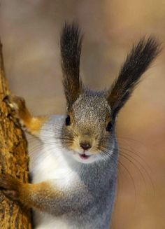 The dark ear tufts help to camouflage the squirrel against the tree trunk.