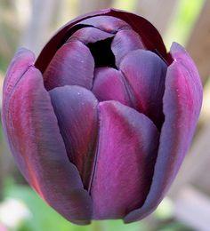 Queen of the Night Tulip, alternate view by Bebopgirl1969, via Flickr