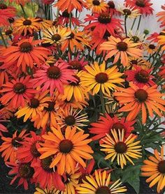 Echinacea, Hot Summer  For a fiery hot garden look, plant this coneflower among phlox, monardas and other coneflowers.  lifecycle: Perennial  Zone: 3-8  Sun: Full Sun  Height: 32-36 inches  Spread: 18-24 inches  Uses: Beds, Borders, Container, Cut Flowers  Bloom Season: Summer