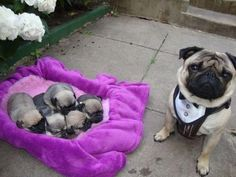 Pug puppies (: next year they will be here!! (: