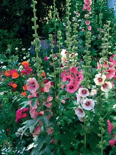 Hollyhocks...at Grandma's house...we made dancing ladies with the flowers.