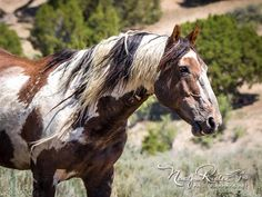 Picasso, 28 year old wild mustang of Sand Wash Basin