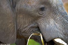 Purchase this product now and earn 150 Points!Close up of elephant eating Pixels 7360x4912