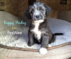 Peewee - the best TGIF pup