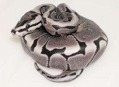 VPI-Axanthic / Woma-morph Ball Python
