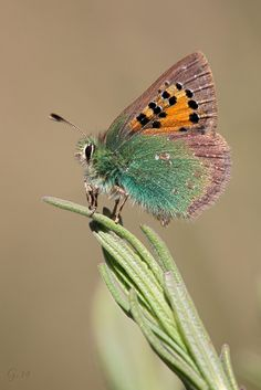 Butterfly:  Tomares ballus  (Lycaenidae)