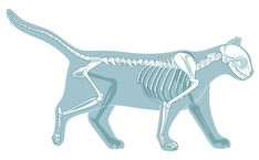 How many bones does a cat have? A guide to cat bone structure, including the cat skull and tail bones, and a cat skeleton diagram. Skull Anatomy, Cat Anatomy, Body Anatomy, Cat Skeleton, Skeleton Drawings, Cat Body, Chibi Cat, Cat Reference, Cat Skull