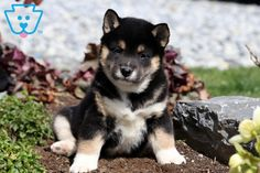 This stunning Shiba Inu puppy is so excited to meet his new family! He loves to be around people and will make a fantastic companion & best friend. Siberian Husky Puppies, Husky Puppy, Siberian Huskies, Corgi Puppies, Equine Photography, Animal Photography, Shiba Inu Black, Black Lab Puppies, German Shepherd Puppies