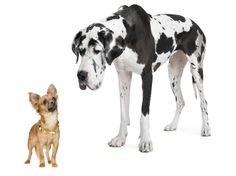 Large dog breeds like great danes age faster than small pups, like chihuahuas. from your friends at k9katelynn:)