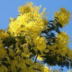 Mimosa 'Gaulois Astier'