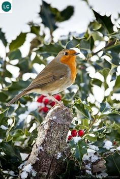 European Robin with holly and seasonal red berries, The Cotswolds, UK Pretty Birds, Love Birds, Beautiful Birds, Animals Beautiful, Animals And Pets, Cute Animals, European Robin, Robin Redbreast, British Garden