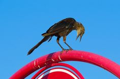 target parking lot bird | Birds in Texas | A record of birds seen in the Brazos Valley and ...