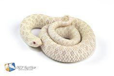 Western Hognose Snake ( Heterodon nasicus ) Snow ( Albino x Axanthic )