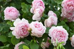 """Rose """"Constance Spry"""""""
