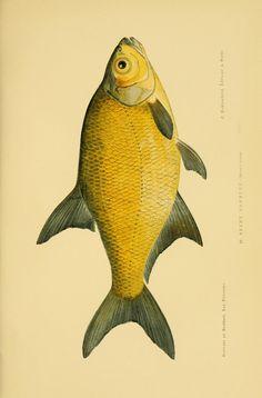 1 - Les poissons : - Biodiversity Heritage Library