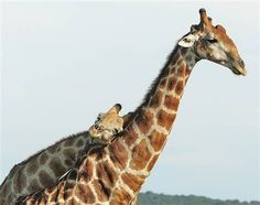 @Allison j.d.m Hawco two of your favorite things: laying on people and giraffes