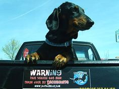 "The bumper sticker says it all.... ""Warning, this vehicle has been taken over by Dachshunds"" www.HotDogBlog.com #Doxie Darlin' ♥ LOVE"