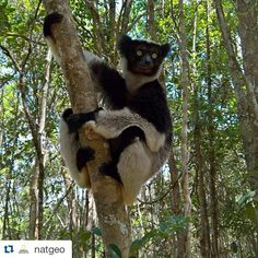 Envie de boire un thé avec toi. #Repost @natgeo with @repostapp  An Indri Lemur at Andasibe Madagacar Photo by @salvarezphoto (Stephen Alvarez) This critically endangered animal is the largest lemur still in existence and like all lemurs only found in Madagascar. Females produce one offspring every  2 to 3 years. The long time between births coupled with a 7 year period to reach sexual maturity means slow population growth. Lemurs are fantastic animals. The Indris are my second favorite…