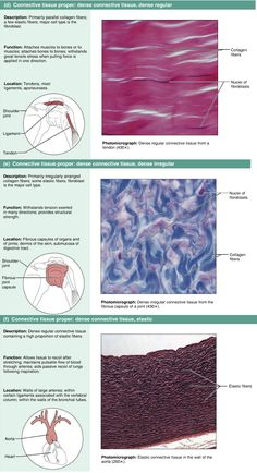 Connective tissues - Dense Skin Anatomy, Anatomy Bones, Anatomy Study, Medicine Notes, Medicine Student, Medical Facts, Medical Science, Tissue Biology, Tissue Types