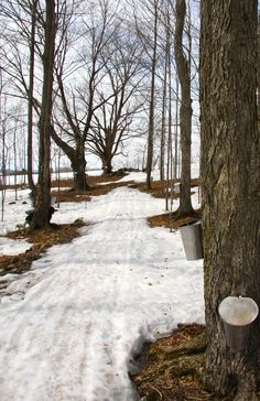 tapping maple trees to make syrup Tapping Maple Trees, Trois Rivieres, Maine New England, O Canada, Seasons Of The Year, World Photography, Winter Trees, Winter Landscape, Maple Syrup