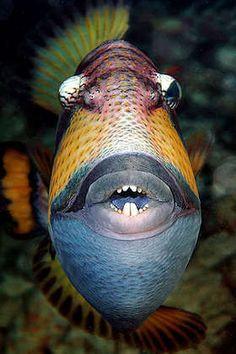 Trigger Fish, also known in Hawaii as Humuhumunukunukuāpuaʻa, the longest word in Hawaiian.