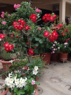 Mis rosas del desierto
