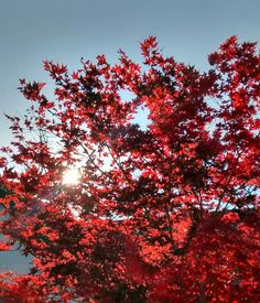 Incredible colour leaves on this tree, with the sunlight shining through.