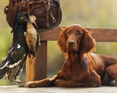 Irish Setter Breed Information - Irish Setters originated as gundogs in their native Ireland. Read more Irish Setter breed information here. http://topdogumentary.com/irish-setter-breed-information/ #IrishSetter #DogBreedInformation
