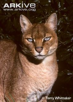 Female African golden cat - The African golden cat (Caracal aurata) is little known by science, but is the subject of much tribal superstition in many parts of Africa.