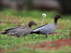 The Australian Wood Duck, Maned Duck or Maned Goose (Chenonetta jubata) is a dabbling duck found throughout much of Australia