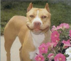 Pit bulls smile like no other!