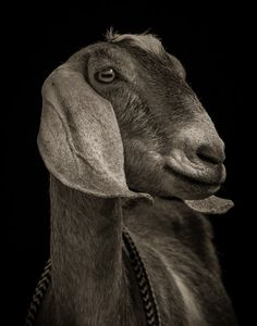 Goat studio photography: Chattel - Kevin Horan