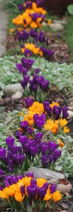 Using opposites on the color wheel.  YELLOW AND PURPLE.  Crocus 'Golden Yellow' and 'Flower Record'  | Bakman Floral Design is a family owned  operated florist in South Lyon, MI committed to offering the finest floral arrangements gifts, backed by service that is friendly prompt! Call (248) 437-4168 or visit www.southlyonflorist.com for more info!
